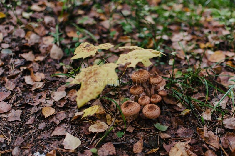 En grupp av champinjoner under litet lönnträd arkivfoton