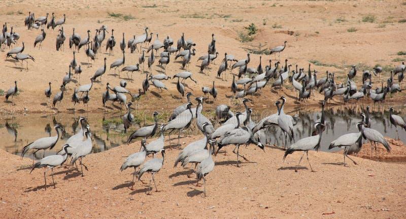 En grupp av Demoisellekranar flockas tillsammans arkivbild