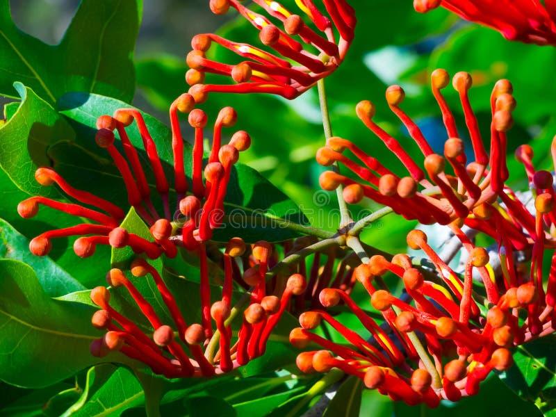 En grupp av den härliga mandarinkaprifolen i sommar på en botanisk trädgård arkivfoton