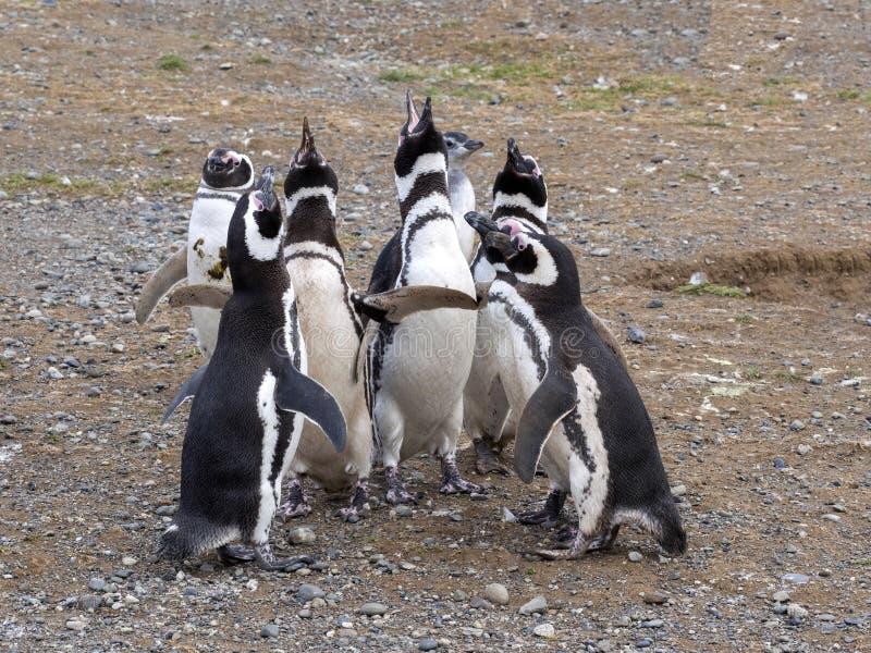 En grupp av den Magellanic pingvinet, Spheniscusmagellanicus, Isla Magdalena, Patagonia, Chile royaltyfri bild