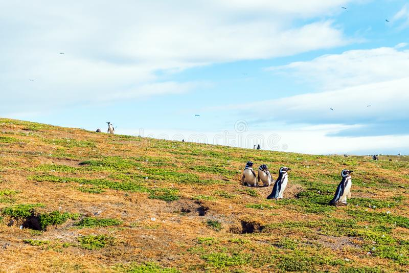 En grupp av den Magellanic pingvinet, Spheniscusmagellanicus, Isla Magdalena, Patagonia, Chile royaltyfria foton