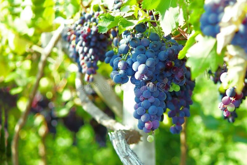 En grupp av druvor växer och mognar royaltyfria bilder