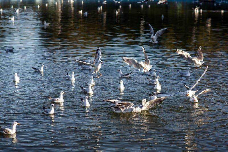 En grupp av fiskmåsar fångar mat royaltyfria bilder