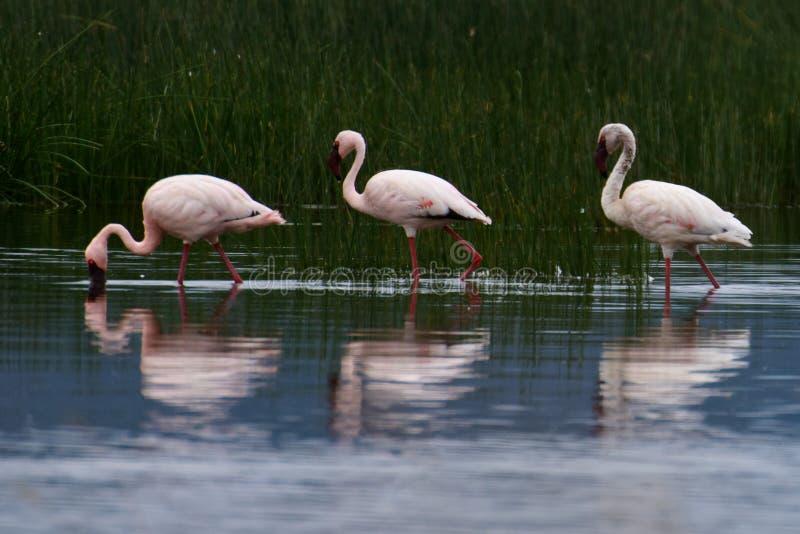 En grupp av flamingo arkivbilder