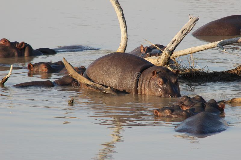 En grupp av flodhästar i vattnet royaltyfri foto
