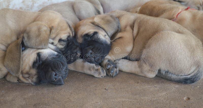 En grupp av fullblods- engelska mastiffvalpar som utanför sover royaltyfri foto