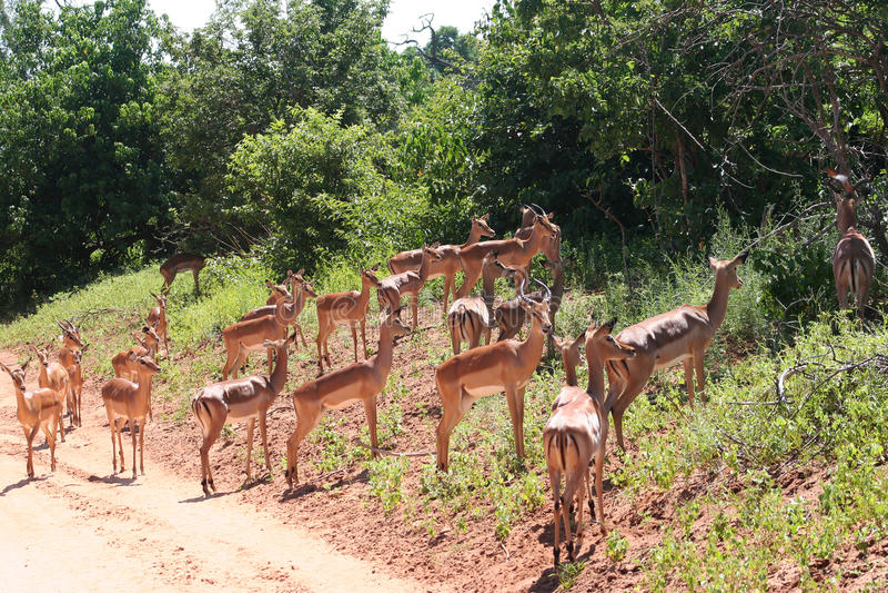 Gazelles i Afrika royaltyfria foton
