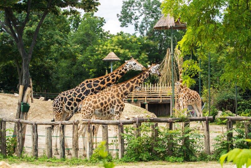 En grupp av giraff som äter på den Budapest zoo och botaniska trädgården arkivfoto