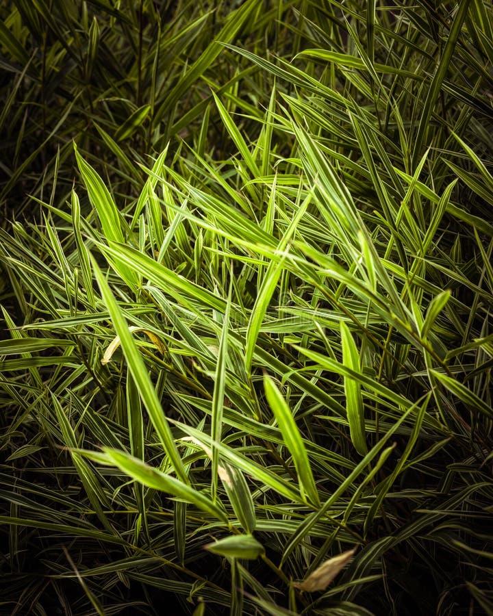 En grupp av gröna bambusidor royaltyfri fotografi
