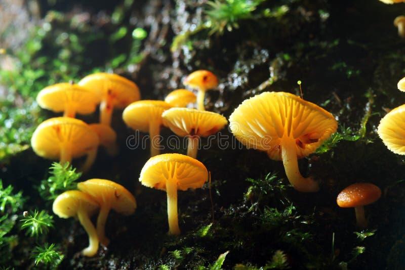 En grupp av gula svampar royaltyfri foto