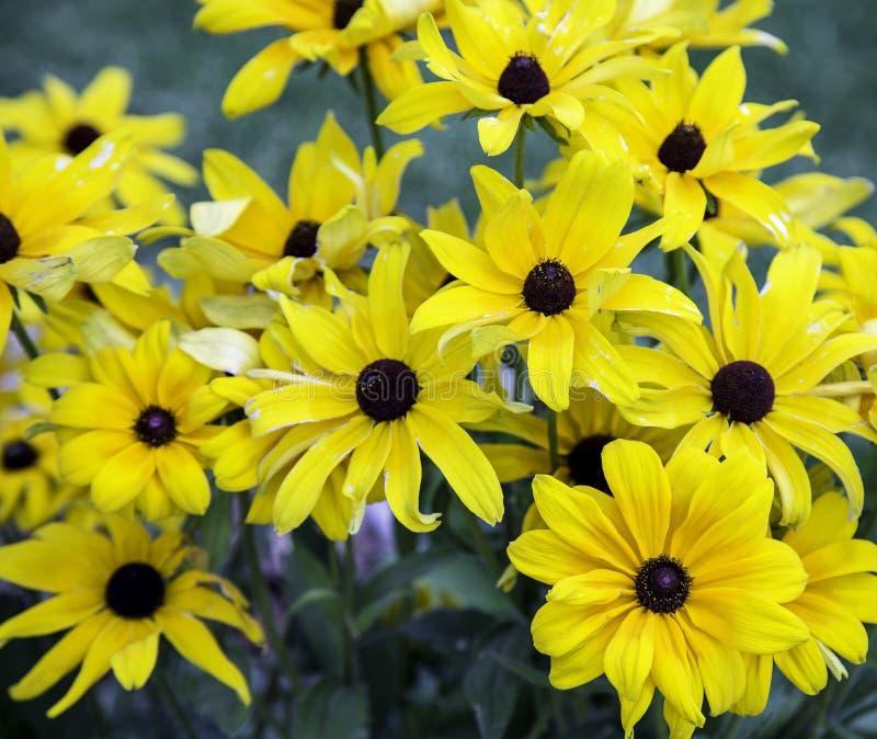 En grupp av guling blommar tillsammans royaltyfri fotografi