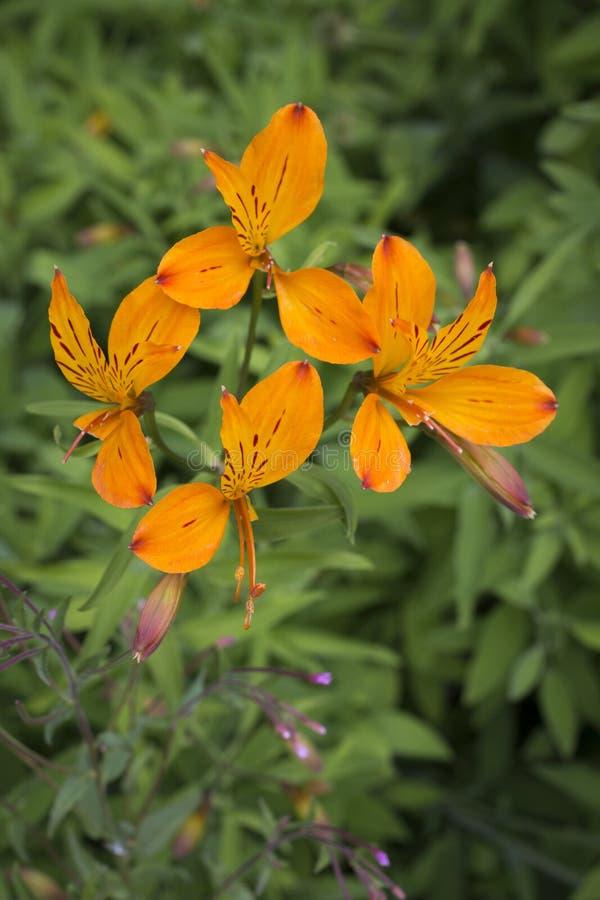 En grupp av härliga orange blommor royaltyfri fotografi