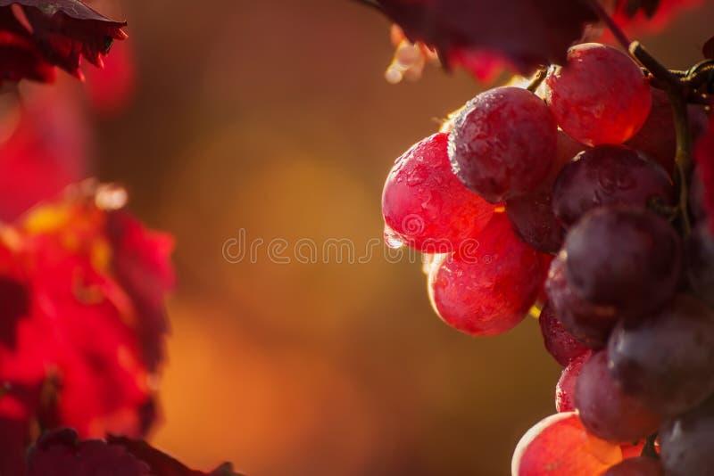 En grupp av härliga rosa druvor fotografering för bildbyråer