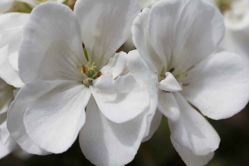 En grupp av härliga vita röda blommor arkivbilder