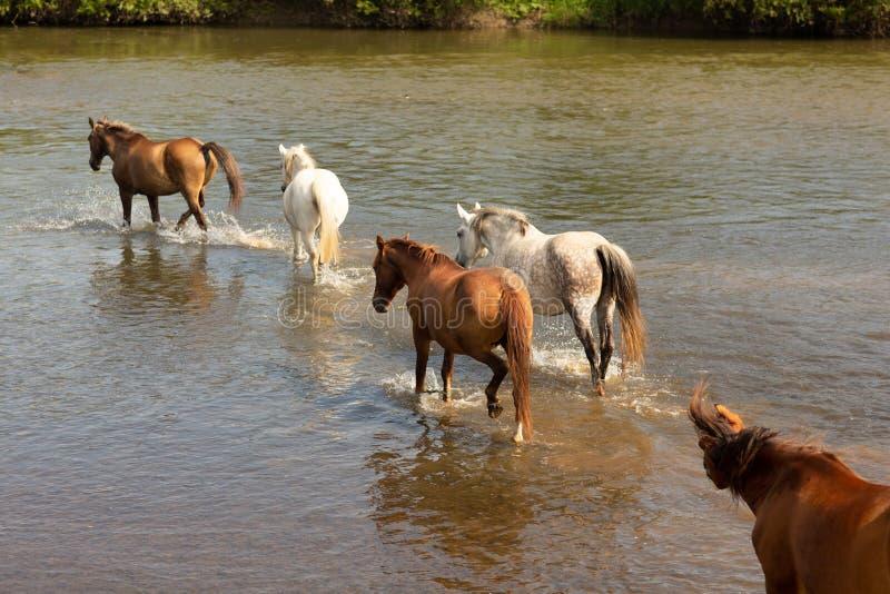 En grupp av hästar som kör i vattnet över floden royaltyfri fotografi