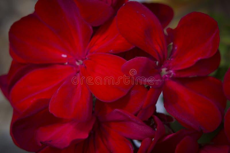 En grupp av h?rliga r?da blommor arkivbild