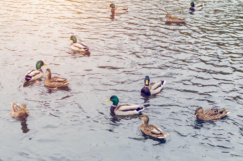 En grupp av lösa änder som simmar i ett höstdamm arkivbilder