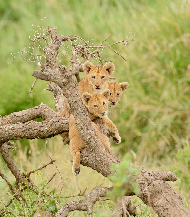 En grupp av lejongröngölingar royaltyfri fotografi