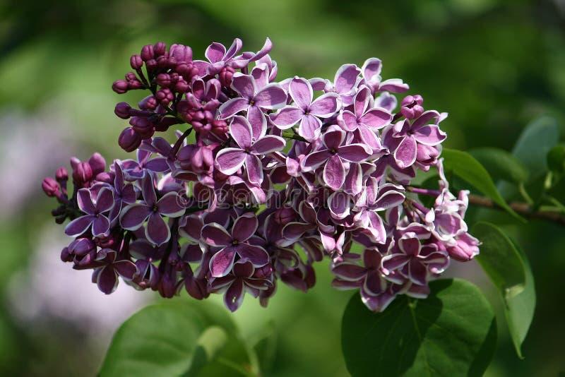 En grupp av lilor av royaltyfria foton