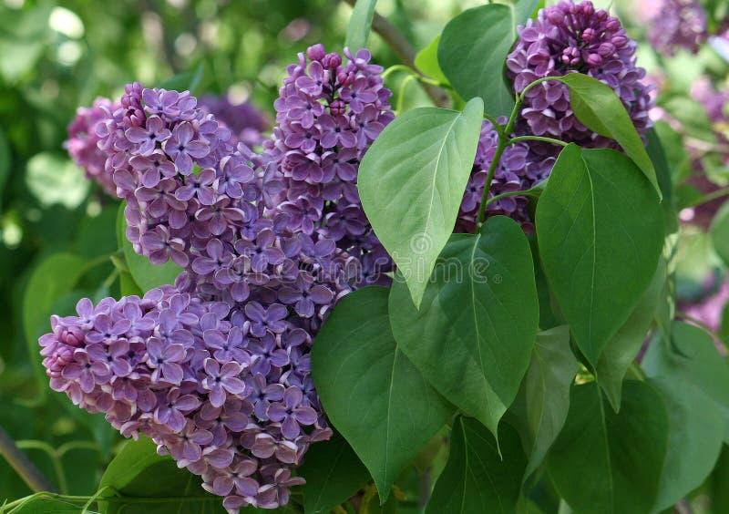 En grupp av lilor royaltyfri bild