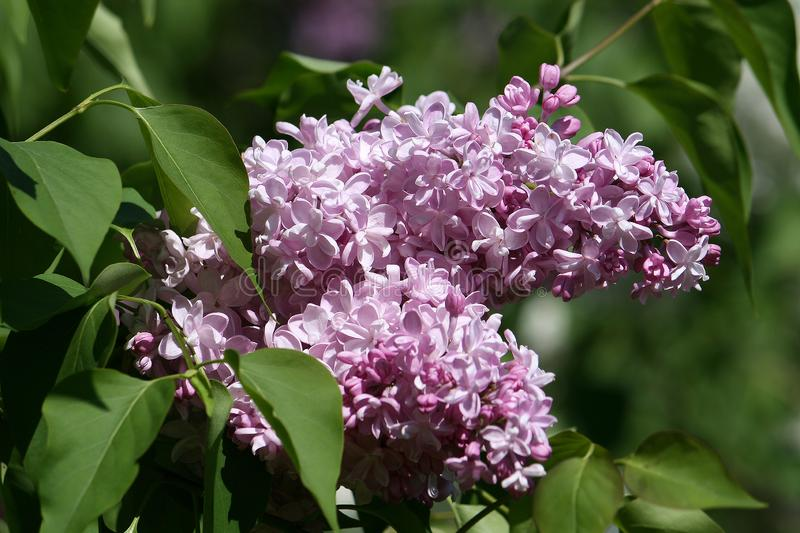 En grupp av lilor royaltyfri fotografi