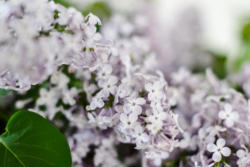 En grupp av lilor på en ljus vårdag royaltyfria foton