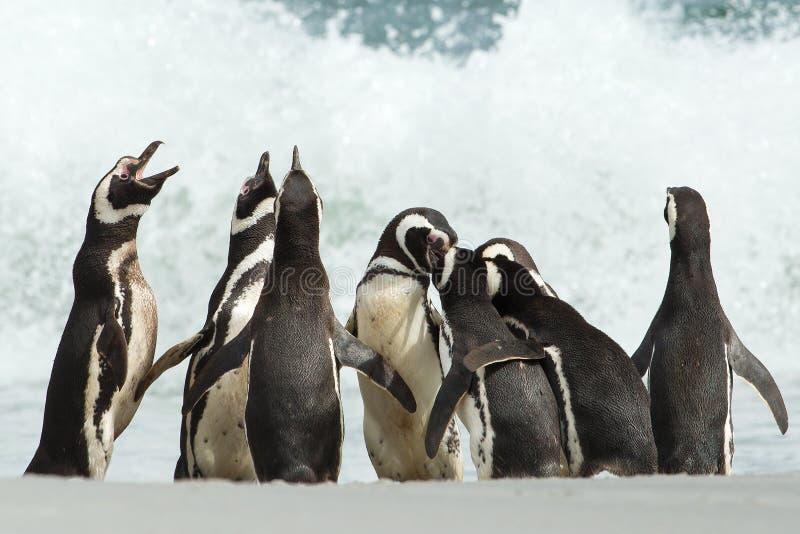 En grupp av Magellanic pingvinhopsamling på en kust av den Falkland islaen royaltyfri foto