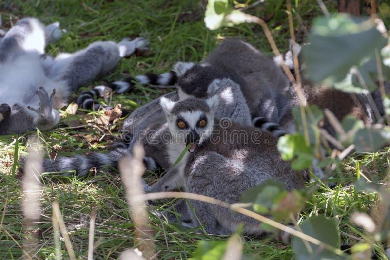 En grupp av makier som lägger i gräset, medan ett av dem äter royaltyfria foton