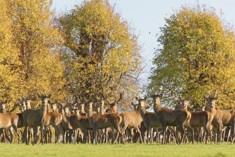 En grupp av manliga och kvinnliga deers under den brunstiga säsongen royaltyfria bilder
