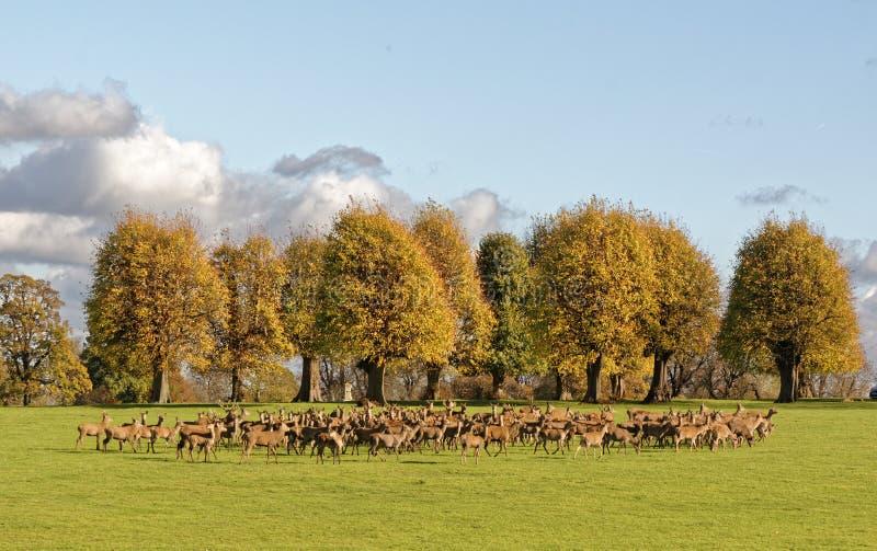 En grupp av manliga och kvinnliga deers under den brunstiga säsongen royaltyfria foton