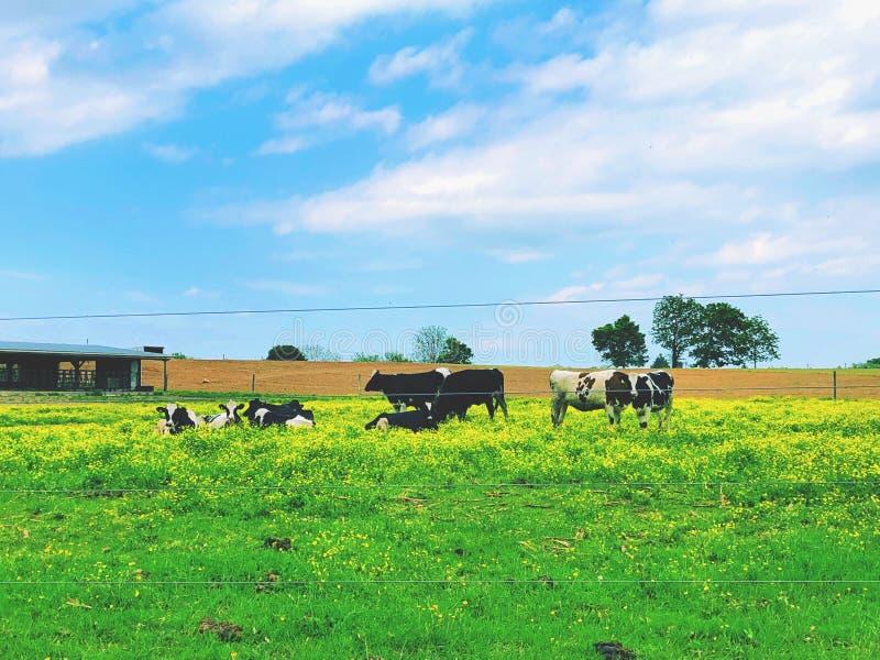En grupp av milch kor som äter och vilar royaltyfri bild