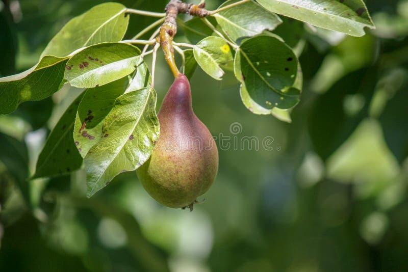 En grupp av mogna sunda gula och gröna päron som växer på en päronträdfilial, i en äkta organisk trädgård N?rbild royaltyfri bild