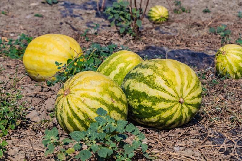 En grupp av mogna vattenmelon av gräsplan gjorde randig och gulinglögnen på en melon på en brun jord royaltyfri bild
