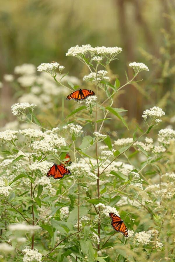 En grupp av monarkfjärilar på en vit växt royaltyfri fotografi