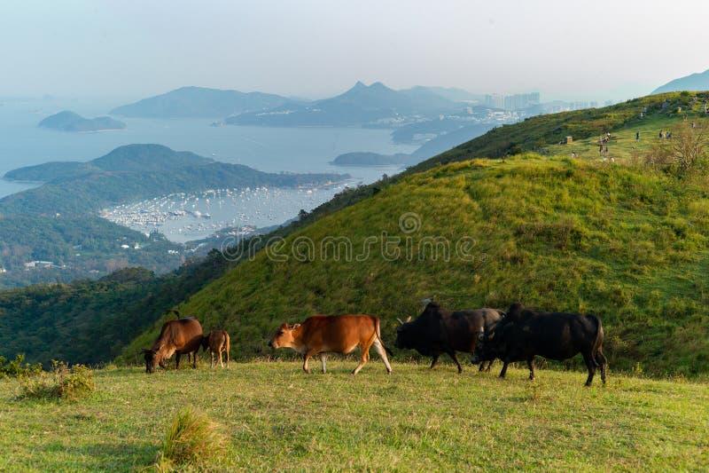 En grupp av nötkreatur som betar i berget med panorama- cityscapesikt arkivfoton