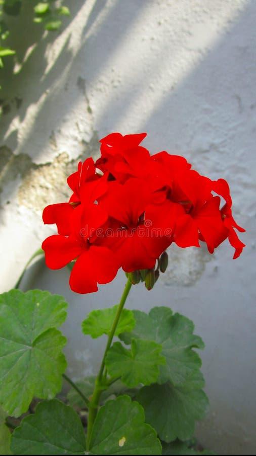 En grupp av r?da blommor royaltyfri bild