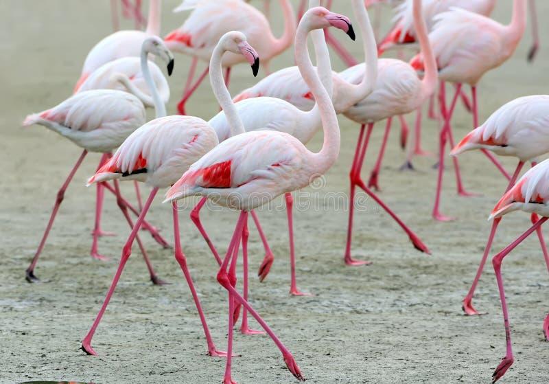 En grupp av rosa flamingo på sandslutet upp arkivfoto