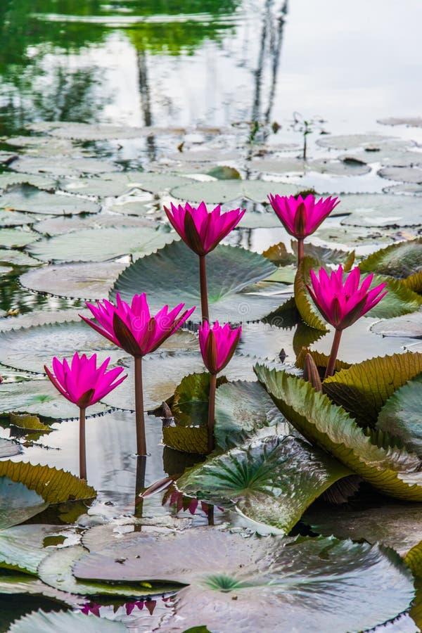 En grupp av rosa lotusblommablommor blommar royaltyfria bilder