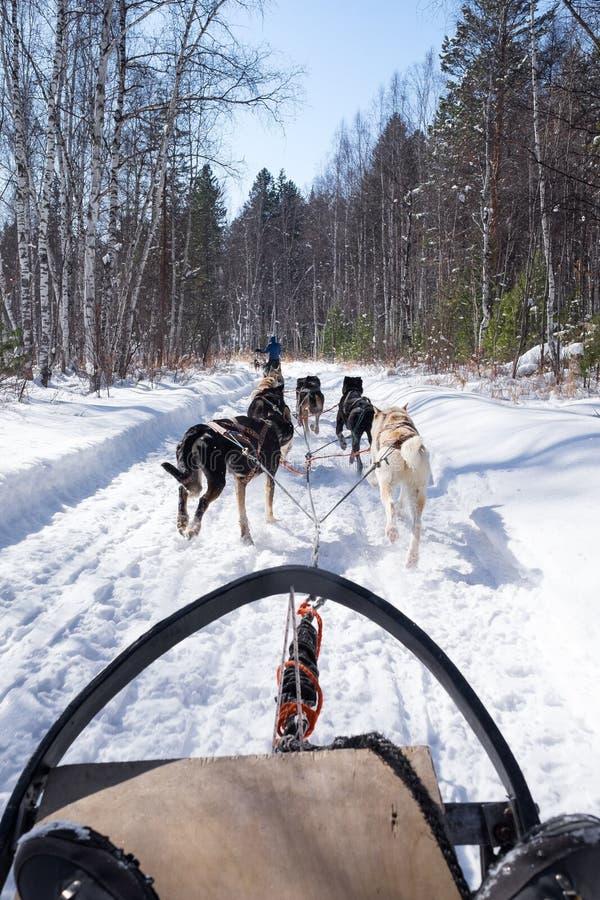 En grupp av springhundkapplöpning som drar en släde på den snöig banan i en pinjeskog under kall vinter royaltyfria foton