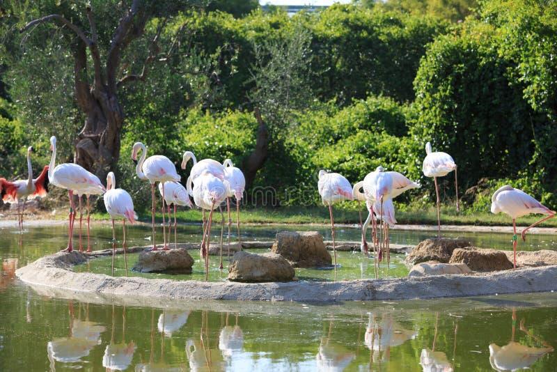 En grupp av större flamingofåglar fotografering för bildbyråer