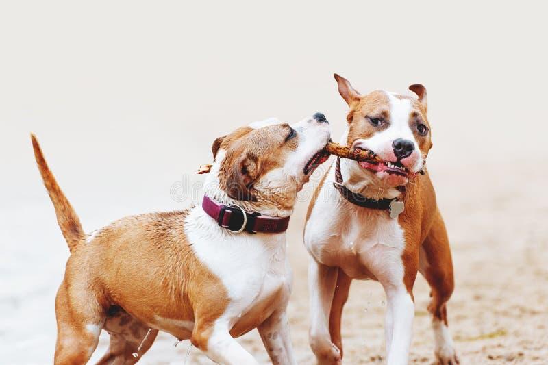 En grupp av starka amerikanska Staffordshire terrier spelar med en pinne Två hundkapplöpning som hoppar längs stranden royaltyfri fotografi