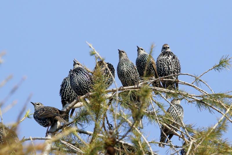 En grupp av stjärnafåglar, den vulgaris som sturnusen sitter på, fattar av en lärk arkivfoto