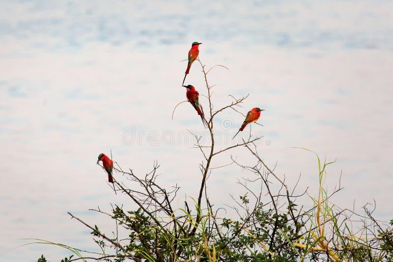 En grupp av sydliga CarmineBi-ätare som fotograferas på bankerna av Zambeziet River på en bygga boplats i Namibia royaltyfria foton