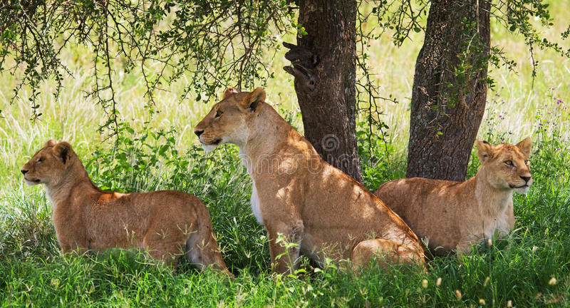 En grupp av unga lejon som ligger under en buske Chiang Mai kenya tanzania mara masai serengeti royaltyfri bild