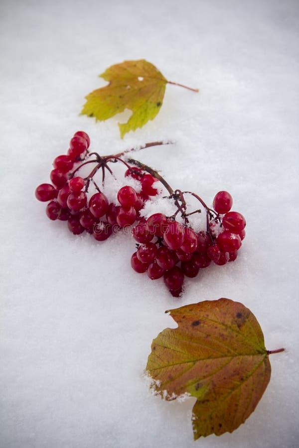 En grupp av viburnumen en avverkning på den första snön fotografering för bildbyråer