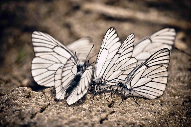 En grupp av vita stora fjärilar som sitter tillsammans bredvid de royaltyfria bilder