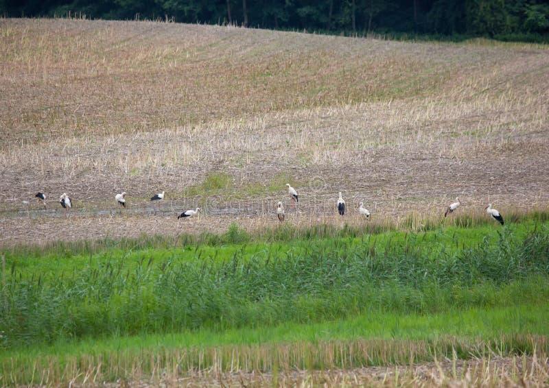 En grupp av vita storkar i ett fält i sydlig Tyskland arkivbild