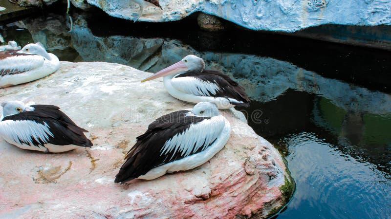 En grupp pellikanfåglar som sitter på en sten royaltyfria foton