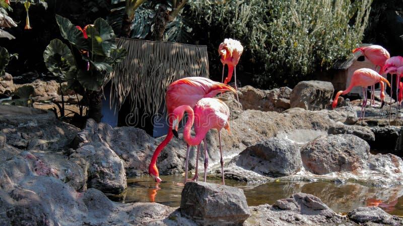 En grupp rosa flamingo dricksvatten från en damm royaltyfri fotografi