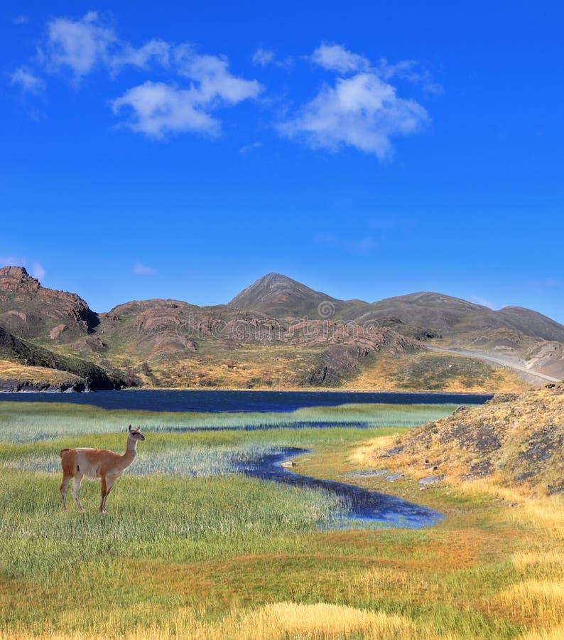 En guanaco står på kusten av den blåa sjön arkivfoto